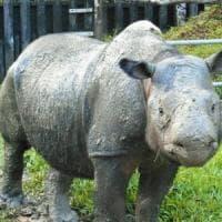 Iman in fin di vita: è l'ultima femmina di rinoceronte di Sumatra in Malesia