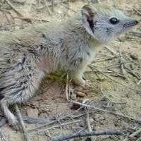 Il marsupiale che credevamo estinto da 100 anni: in Australia rispunta il mulgara