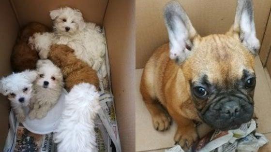 Sequestrati 65 cuccioli di cane trasportati in auto dentro gabbie per il pollame. E cercano casa