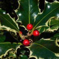 Albero di Natale e pungitopo, ricette di benessere con le erbe natalizie