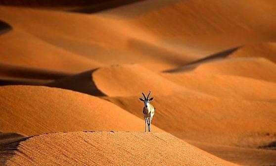 Oman. L'orice d'Arabia è salvo. E ora si può anche ammirare