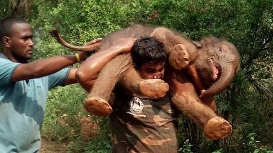 India, si carica sulle spalle un cucciolo di elefante di 100 chili per riportarlo dalla mamma