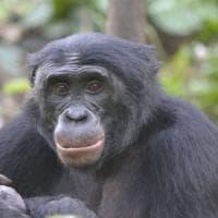 Ma quali aiutanti? I bonobo preferiscono chi mette i bastoni tra le ruote