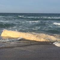 Dopo due mesi la balena spiaggiata in Sardegna avrà una sepoltura, la carcassa andrà in un...