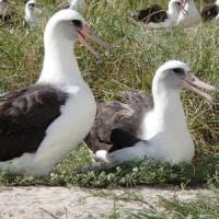 Wisdom, l'albatros più vecchio del mondo di nuovo mamma
