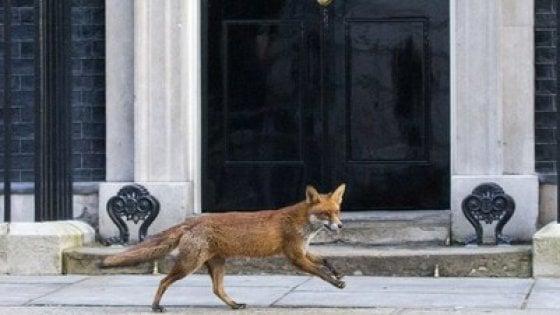 Gran Bretagna, tira e molla del Governo sulla caccia alla volpe: confermato il bando