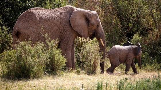 Africa, i grandi mammiferi decimati dalle guerre