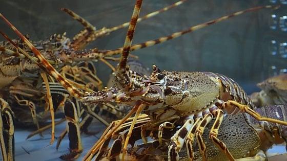"""""""L'aragosta è un animale sensibile, vietato immergerla viva nell'acqua bollente"""""""