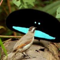 Uccelli del paradiso, tutte le sfumature del nero
