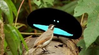 Tutte le sfumature del nero:svelato il fascino segreto degli uccelli del paradiso · foto