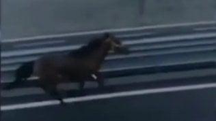 """Cavallo galoppa sull'autostrada,l'autista stupito: """"Cos 'e pazz!"""""""