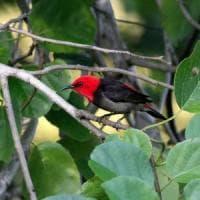 Scoperta nuova specie di uccello nelle foreste dell'Indonesia