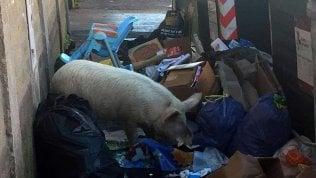 """Raggi svela: """"Il maiale tra i rifiuti?Ma era dei Casamonica"""" video"""