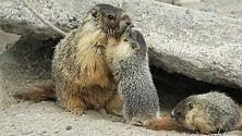 La solitudine allunga  la vita alle marmotte