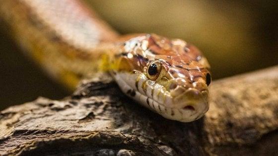 Non solo zig-zag, i serpenti sanno anche tirare dritto