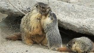 Il segreto delle marmotte? Meglio sole: così vivono più a lungo