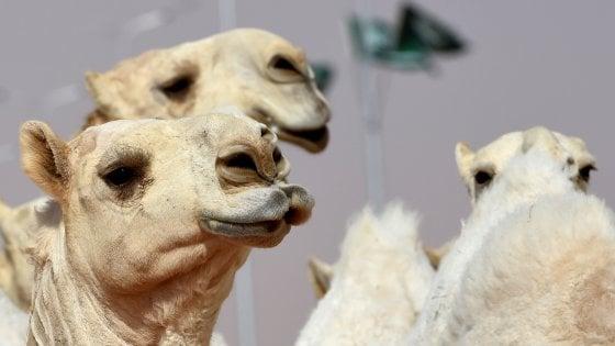 Cammelli squalificati al concorso di bellezza per uso del botox