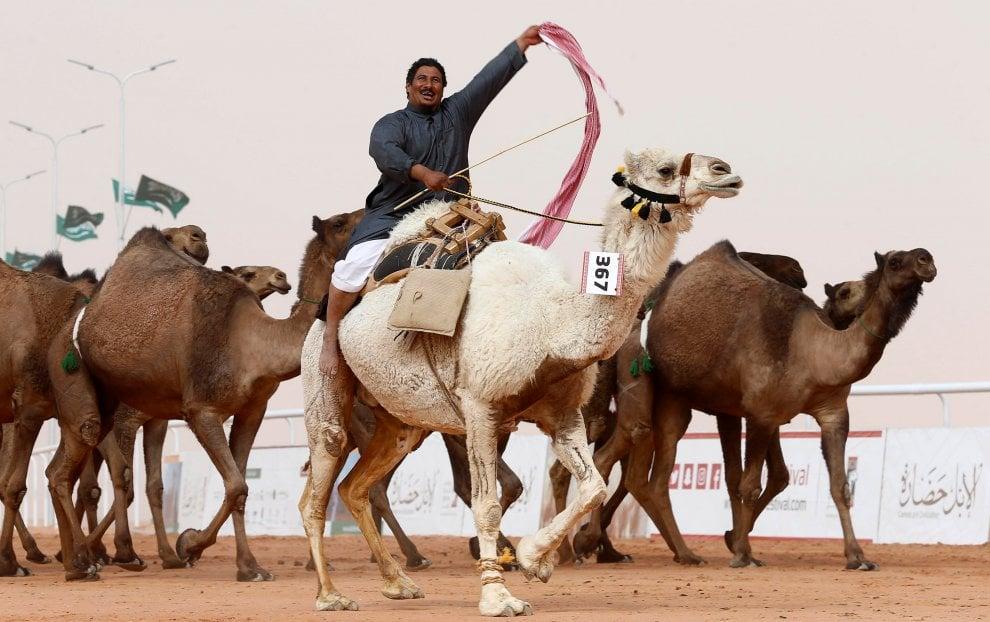 Cammelli con il botox, squalificati al festival saudita