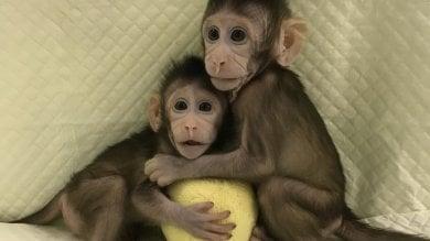Due scimmie clonate come Dolly.  Il turno dell'uomo è più vicino   video
