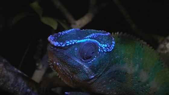 Il segreto del camaleonte: diventa fluorescente sotto la luce ultravioletta