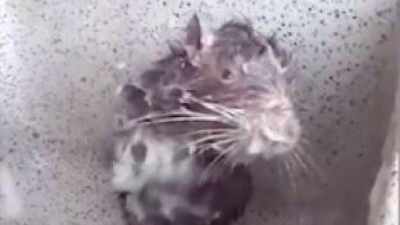 """""""Questo topo sta soffrendo"""": la verità dietro al video da milioni di clic"""
