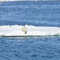 Il ghiaccio si ritira, gli orsi polari faticano a cacciare