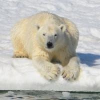 Orsi polari perdono peso a causa dello scioglimento dei ghiacci