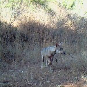 Lupi, pastori e fake news: il predatore torna a far paura