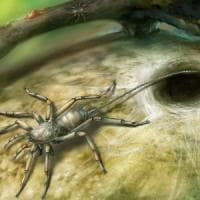 Nell'ambra un ragno con la coda vissuto 100 milioni di anni fa.
