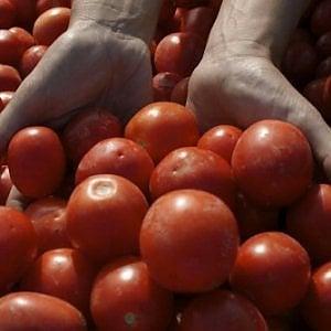 Tutto sul pomodoro, adesso c'è anche l'atlante genetico