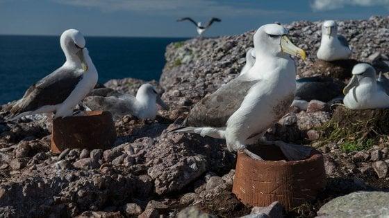 """Sorpresa, agli albatros piacciono i nidi artificiali. """"Nuove speranze per difendere la specie"""""""