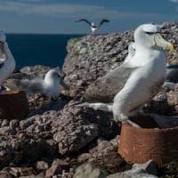 """Sorpresa, agli albatros piacciono i nidi artificiali. """"Nuove speranze per difendere la..."""