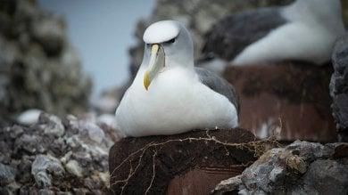 Sorpresa, agli albatros piacciono i nidi artificiali. Un riparo per la specie