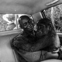 La piccola gorilla tra le braccia del suo salvatore: ecco lo scatto vincitore del Wildlife photographer of the year people's choice award