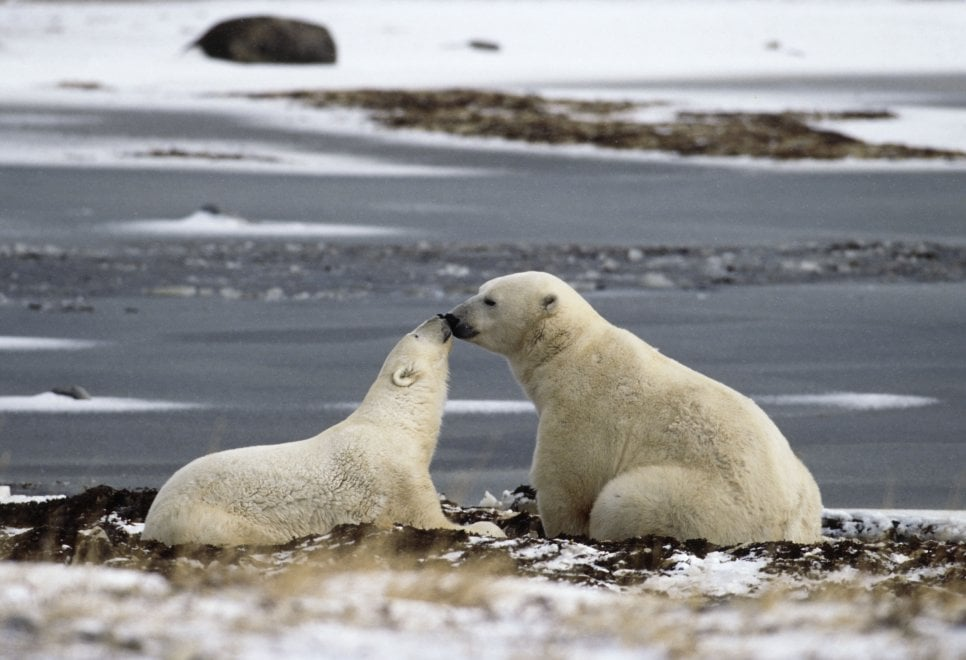 Wwf, amori impossibili: animali minacciati dal global warming
