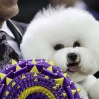 Il cane più bello del mondo? Si chiama Flynn: è lui il vincitore del Westminster dog show