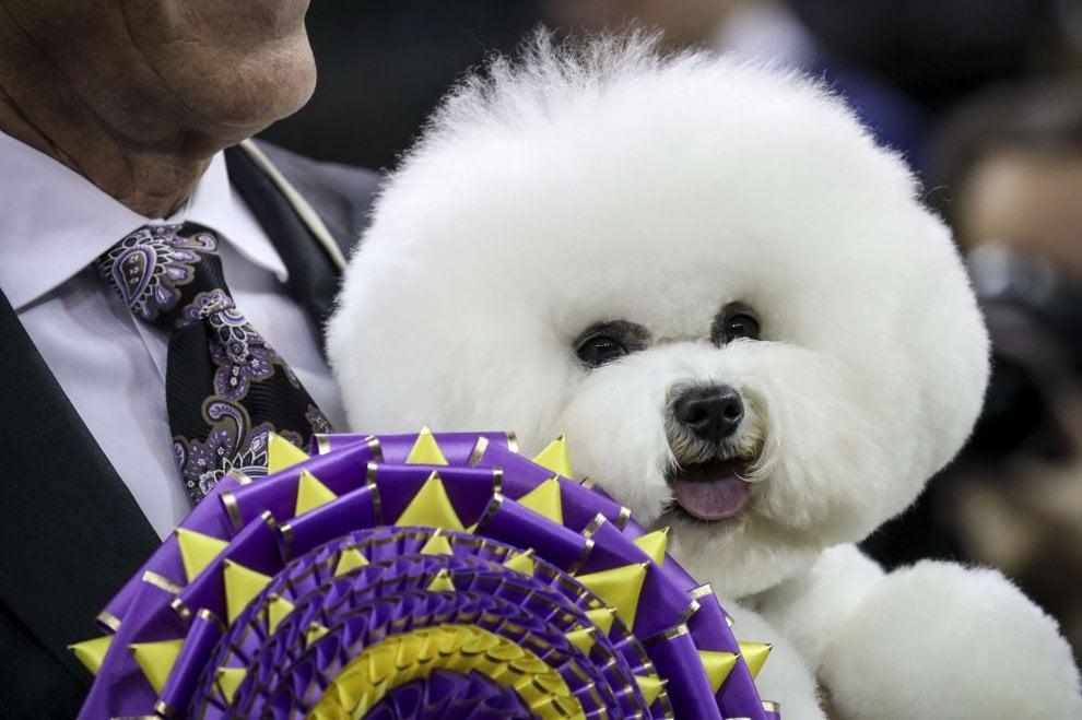 Il cane pi bello del mondo si chiama flynn lui il vincitore del westminster dog show - Il bagno piu bello del mondo ...