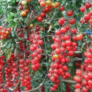 Il pomodoro ciliegino di Pachino Igp