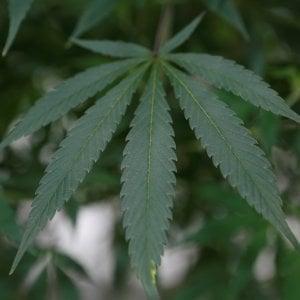 """""""Dimmi che cannabis usi e ti dirò che rischi corri"""""""