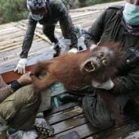 La silenziosa strage degli oranghi: