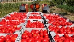 Allarme siccità: a rischio la produzione di pomodori da industria al Sud