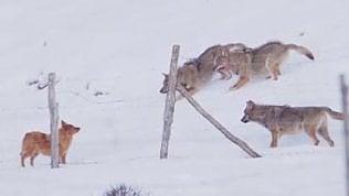 La scaltrezza del cane: sfugge all'attacco dei lupi