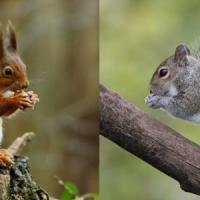 Per un pugno di nocciole: scoiattoli grigi più intelligenti dei rossi