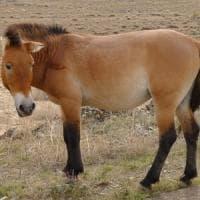 Non esistono più cavalli selvaggi.