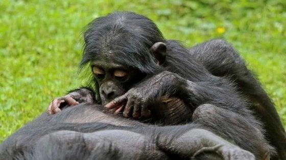 Bonobo e scimpanzé salutano come noi: il linguaggio dei gesti è lo stesso