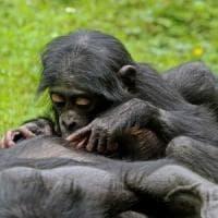 Bonobo e scimpanzé salutano come