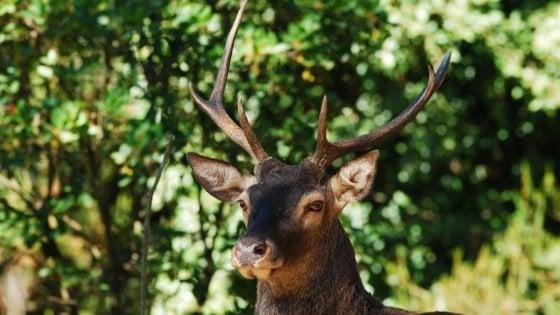 Un cervo e due isole, così si salva la sottospecie sardo-corsa
