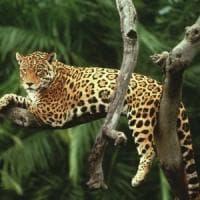 World Wildlife Day, i predatori siamo noi: così stiamo uccidendo tigri e leoni