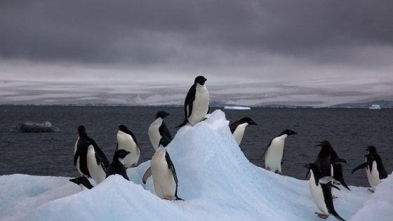Antartide, trovata colonia di pinguini di Adelia: 1,5 milioni nelle isole remote