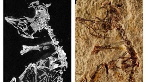 Un pulcino fossile racconta l'evoluzione da dinosauri a uccelli